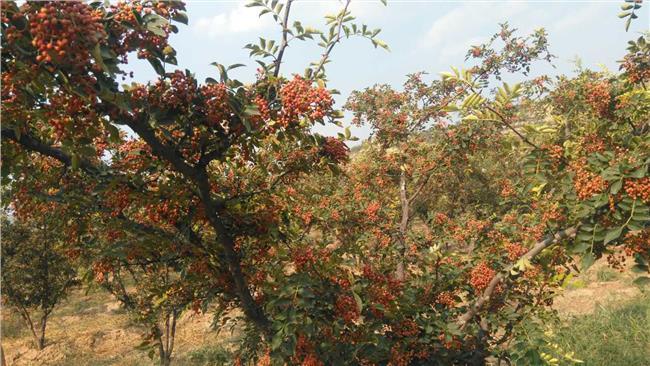 花椒种植效益 种植什么花椒品种效益好 3个花椒树品种推荐