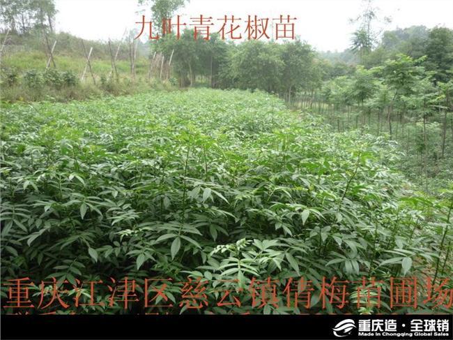 花椒种植管理技术 花椒树的田间种植栽培与管理技术