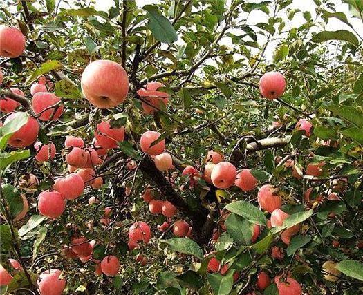 花椒种植技术及管理 花椒栽培技术——花椒移栽及管理