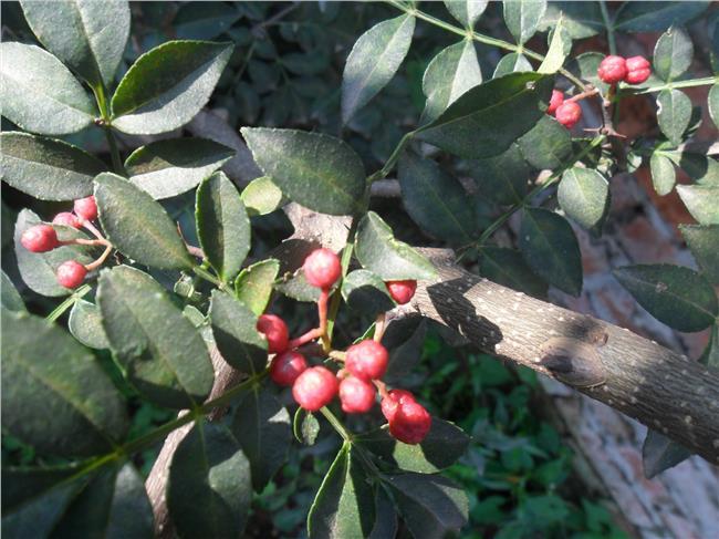 大红袍花椒种植效益 山东泰安特产大红袍花椒苗种植效益高