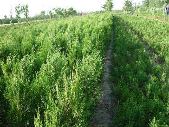 花椒种植海拔 陕西省西安市的海拔条件适合种植花椒树苗吗