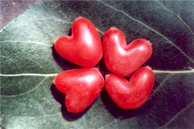 中华钙果品种 中华钙果的经济价值及钙果种植技术