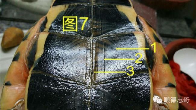 南石金钱龟的鉴别方法 石金钱龟年龄的识别方法