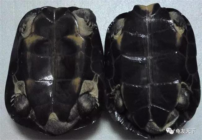 纯种南石金钱龟 纯种南石龟鉴别方法