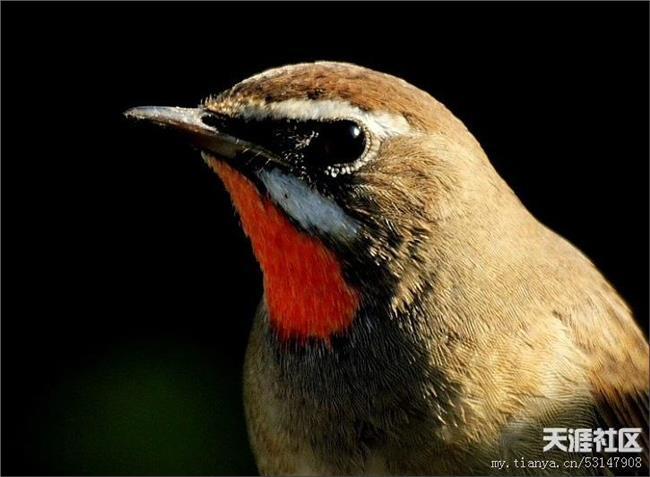 红点颏的叫声 红点颏的形态、生活习性和饲养管理
