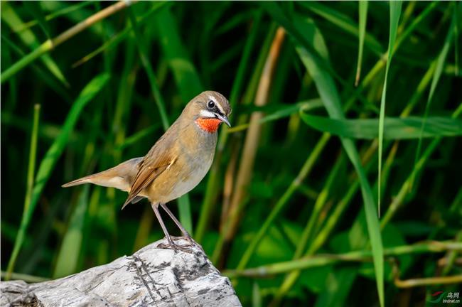 红点颏叫声 诸位鸟友 养了4个月的红点颏为什么一直不鸣叫