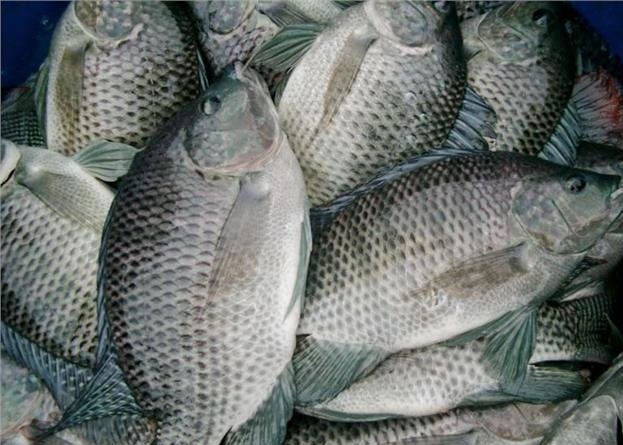 鱼塘养殖鱼草种类 草鱼塘混养多种鱼类高产高效养殖经验分享