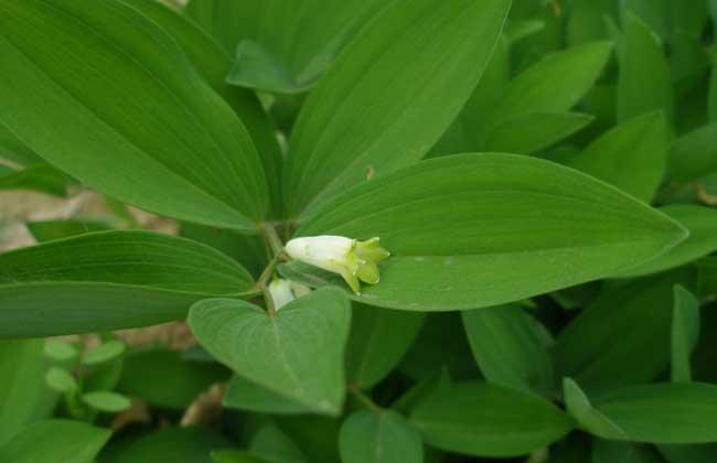 黄精种植前景如何 黄精未来种植前景效益如何