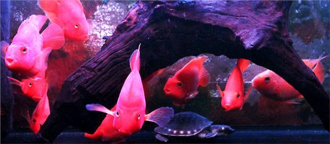 麒麟鹦鹉鱼的饲养方法 鹦鹉鱼的品种介绍与饲养