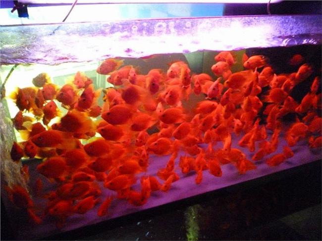 麒麟鹦鹉鱼长的快吗 鹦鹉鱼能长多大?要多久?吃什么长的快?