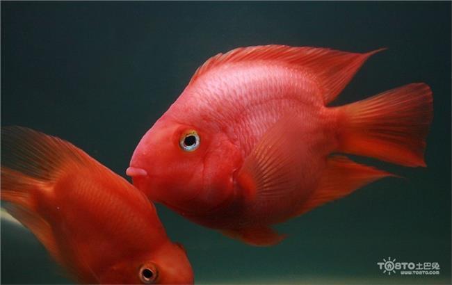 麒麟鹦鹉鱼混养 鹦鹉鱼混养知识 鹦鹉鱼能和什么鱼混养