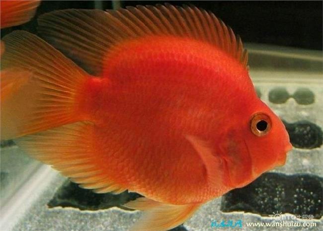 麒麟鹦鹉鱼起头吗 罗汉鱼和招财 鹦鹉鱼一起养能不能起头?