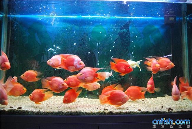 麒麟鹦鹉鱼怎么养 鹦鹉鱼怎么养?有什么要注意的地方吗?