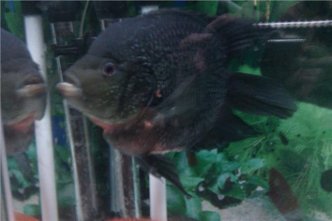 麒麟鹦鹉鱼凶猛吗 我的麒麟鹦鹉 还可以在起头吗?有什么方法?