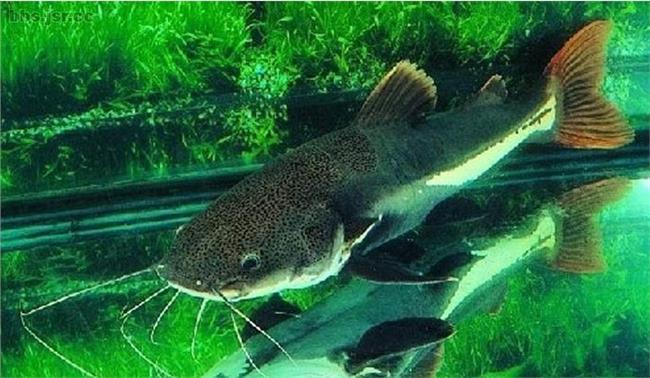麒麟鹦鹉鱼图片 鹦鹉鱼图片能和锦鲤鱼同养吗