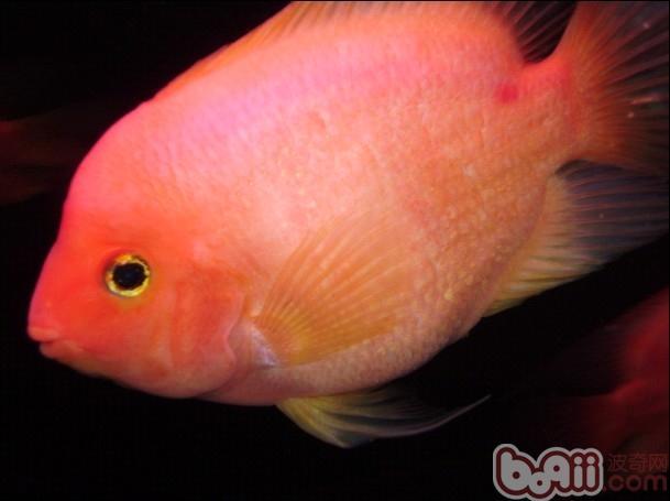 麒麟鹦鹉鱼怎么分公母 鹦鹉鱼公母怎么分辨