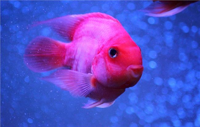 麒麟鹦鹉鱼厉害么 鹦鹉鱼的常见病汇总 教你怎么养好鹦鹉鱼