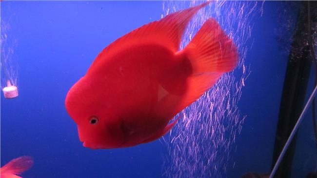 麒麟鹦鹉鱼怎么养起头 鹦鹉鱼怎么养容易起头