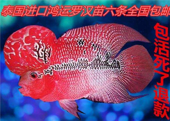 麒麟鹦鹉鱼多少钱 请问罗汉鱼 鹦鹉鱼还有麒麟鹦鹉寿命各有时多少?