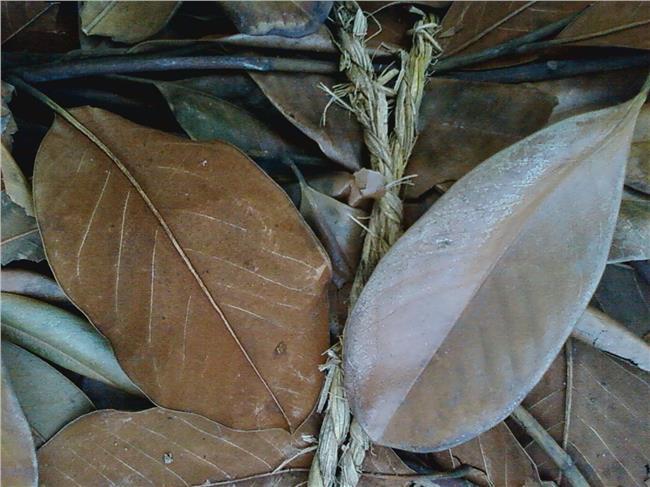 琴叶榕的作用 广玉兰叶子的作用都有哪些?