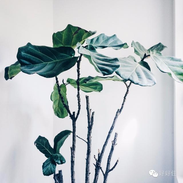 琴叶榕图片 琴叶榕怎么养长得快?琴叶榕的10大养植方法和注意事项图文