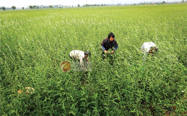 双孢菇品种 霍城县新品种双孢菇引进种植成功