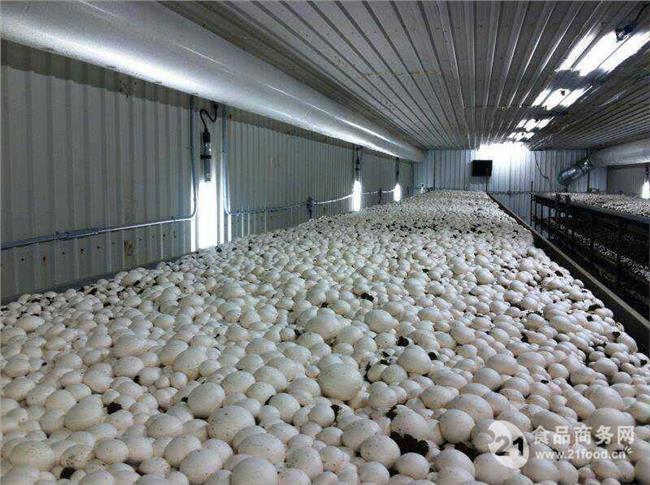 双孢菇种植 种植双孢菇风险大不大 山东集盛打造全国最大双孢菇工厂化种植基地