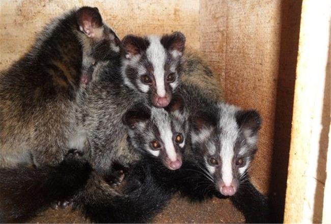 獾子养殖前景 【獾子的养殖前景】獾子养殖成本和利润需投资多少钱
