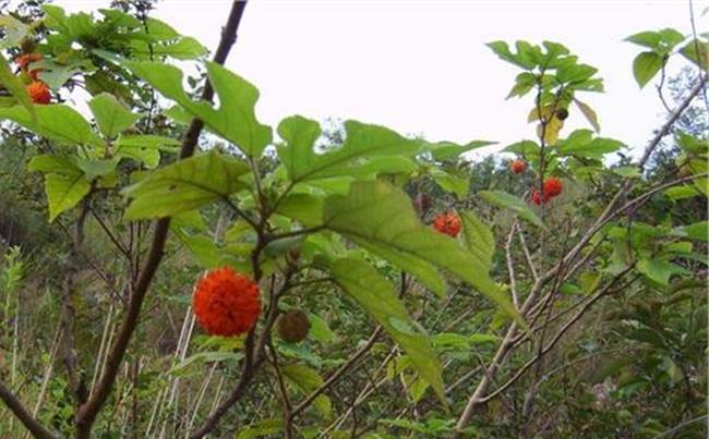 构树果实能吃吗 构树果实可以吃吗?构树果实图片