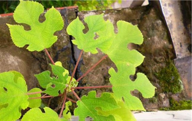 构树叶人吃有毒吗 构树果实能吃吗?构树果实孕妇能吃吗?
