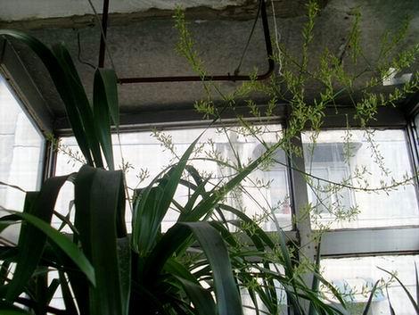 龙须兰叶子发黄是怎么回事图片
