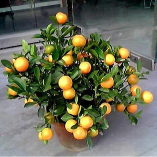 金桔树有刺吗图片