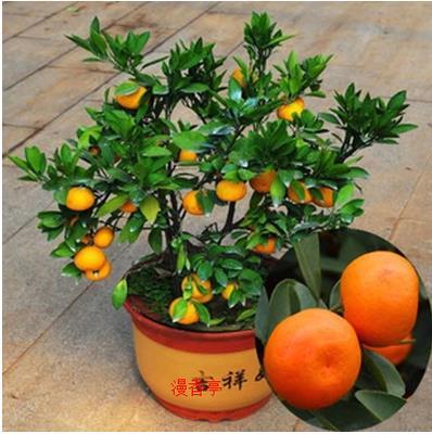 金桔植物图片