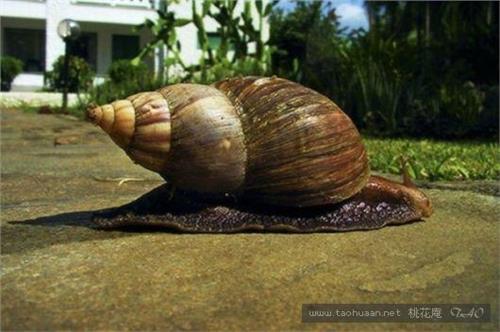 非洲大蜗牛的食用方法图片