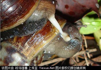 非洲大蜗牛的功效图片