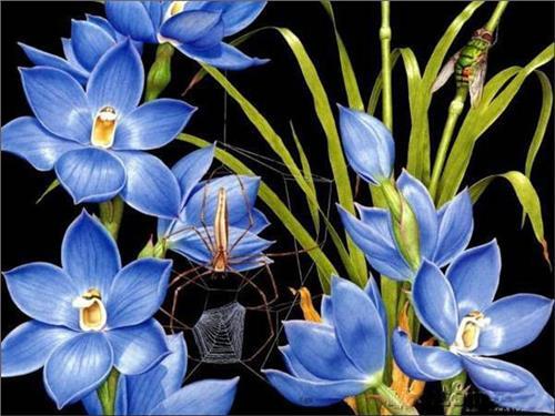 墨兰图片欣赏_云南兰花药草 兰草的种类及兰草图片欣赏_飞扬123