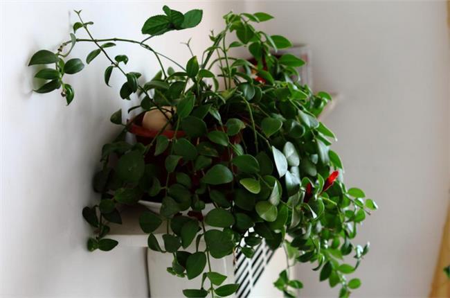 口红吊兰冬天掉叶子图片