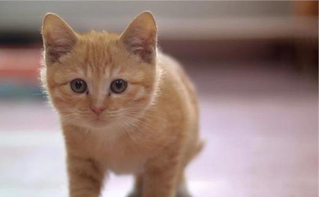 猫挑食吃什么能胖起来图片