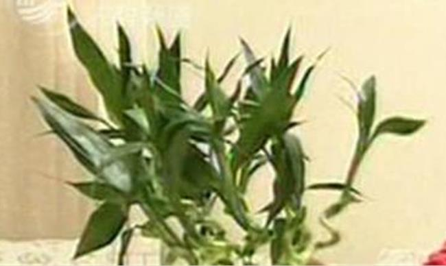 龙竹和观音竹的区别图片