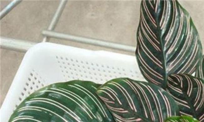 双线竹芋叶子边缘干枯图片