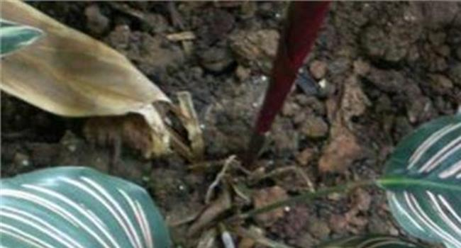 双线竹芋叶子下垂图片