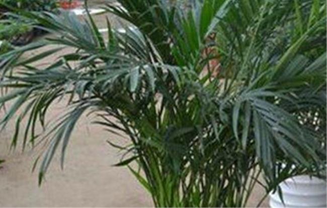富贵椰子叶子发黄变干图片