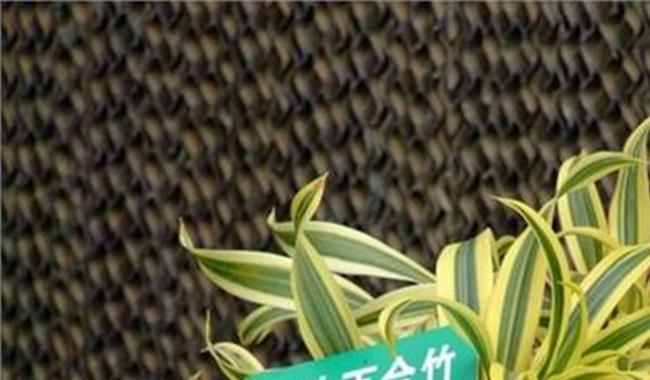 百合竹如何剪枝图片