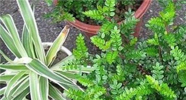 胡椒木叶子下垂发黄图片